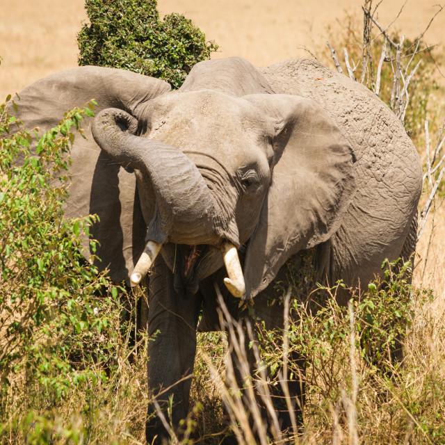 """A young Elephant Grazing in the Maasai Mara"" stock image"
