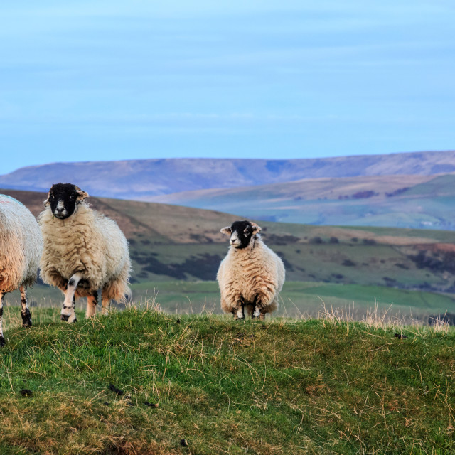 """""""Sheep Grazing With Kinder Scout In The Background"""" stock image"""