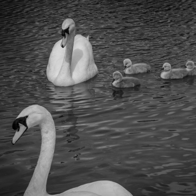 """Swan Family in black and white"" stock image"
