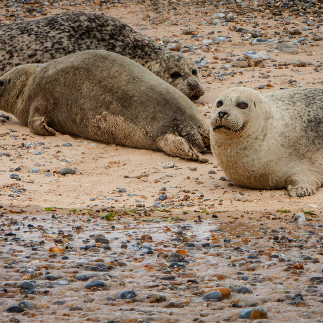 """Common Seals on the Beach"" stock image"
