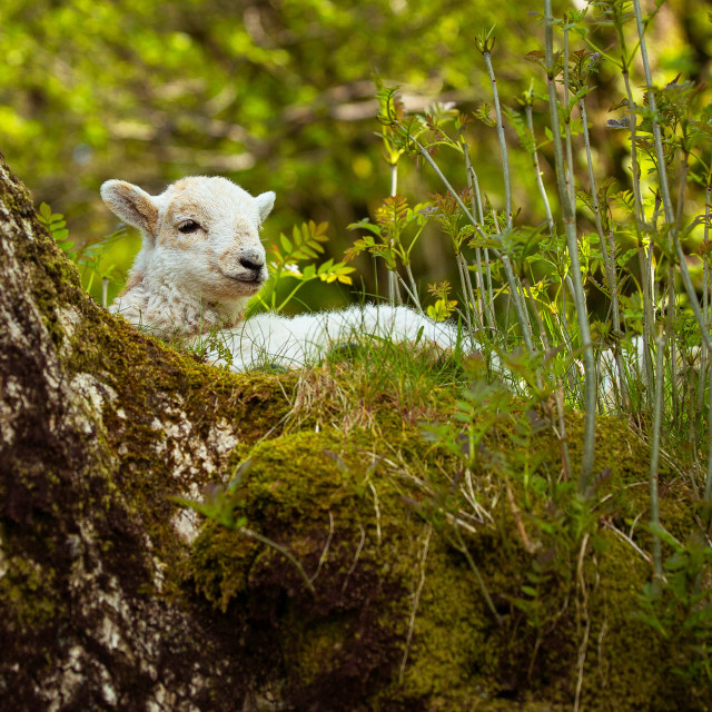 """A little spring lamb"" stock image"