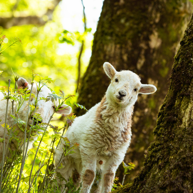 """Little spring lamb"" stock image"