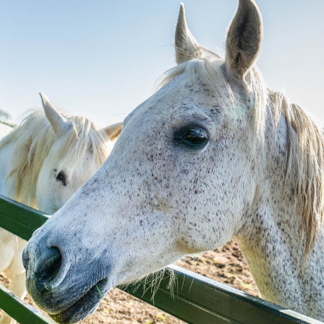 """""""White horses in a field"""" stock image"""