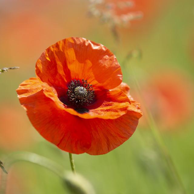 """Red poppy field"" stock image"