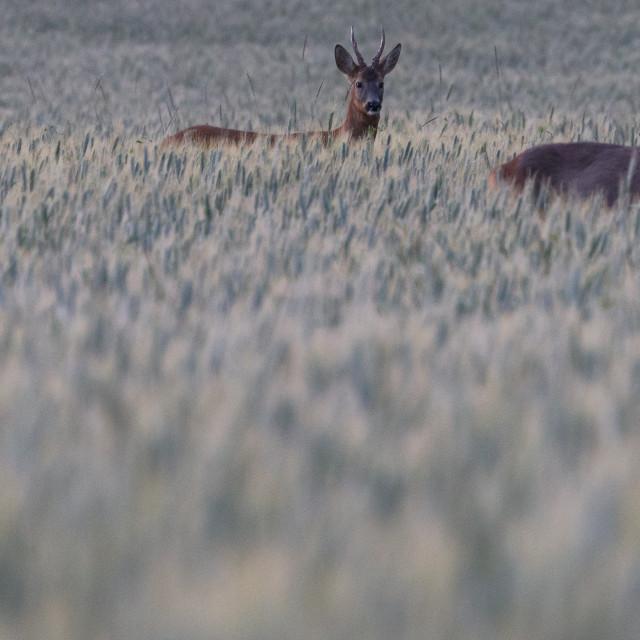 """deer calves"" stock image"