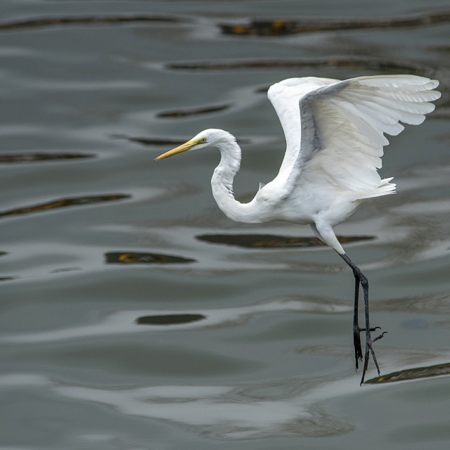 """Great Egret Poise 2018 (I)"" stock image"
