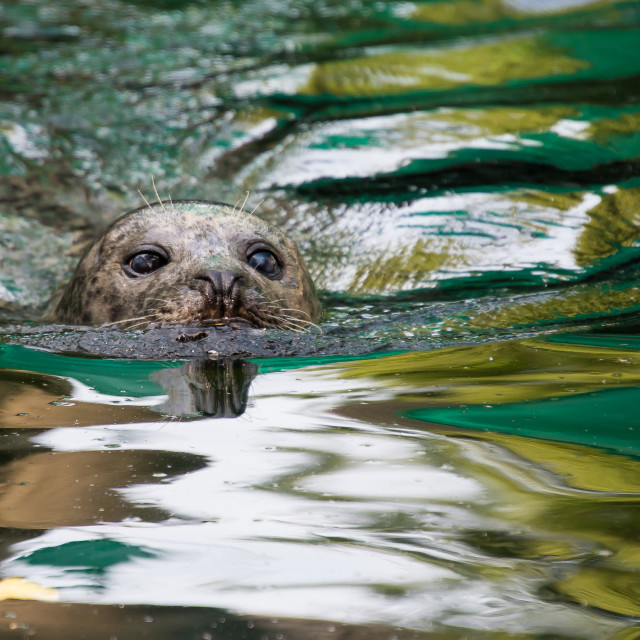 """seal portrait"" stock image"