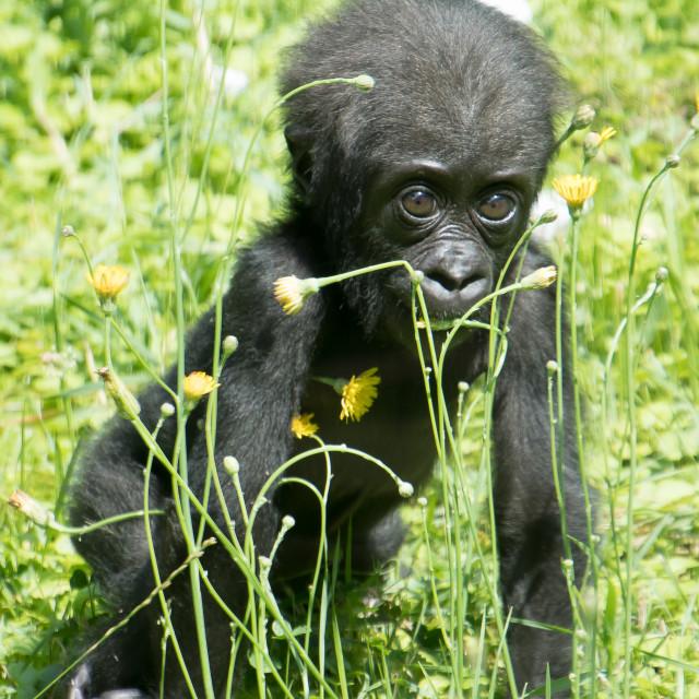 """Gorilla baby"" stock image"