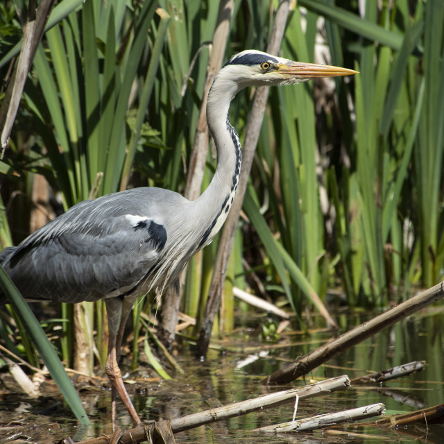 """Grey Heron on Alert"" stock image"