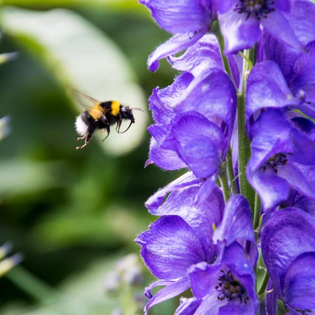 """""""bumblebee on flower"""" stock image"""
