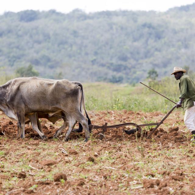 """Tobacco farmer ploughing a tobacco field with oxen in Vinales, Pinar del Rio,..."" stock image"