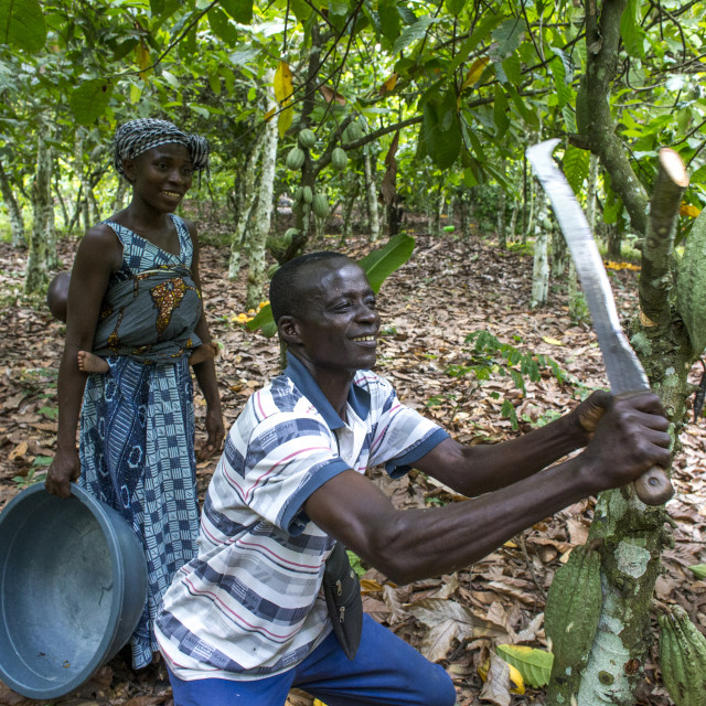 """Ivory Coast. Farmer harvesting cocoa with his wife."" stock image"