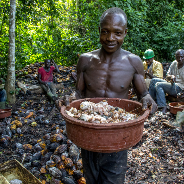 """Ivory Coast. Farmers breaking up harvested cocoa pods."" stock image"