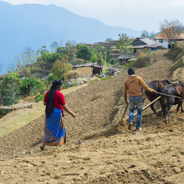"""Nepalese couple working in a terrace field, Dhampus Mountain village, Nepal"" stock image"