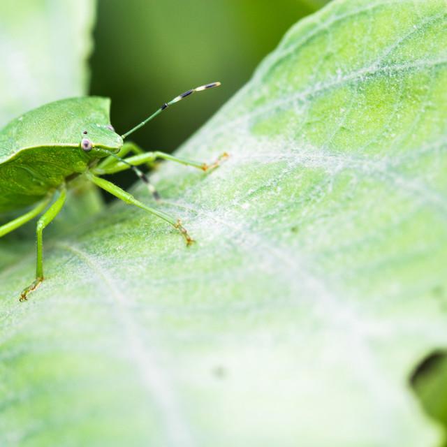"""Green Stink Bug"" stock image"
