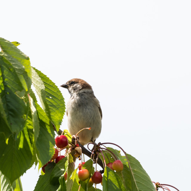 """""""Sparrow sitting on a cherry tree branch"""" stock image"""