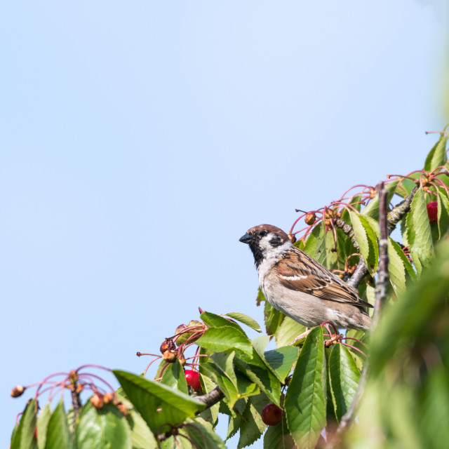 """""""Tree Sparrow in a cherry tree"""" stock image"""