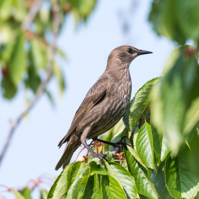 """""""Young starling in a cherry tree"""" stock image"""