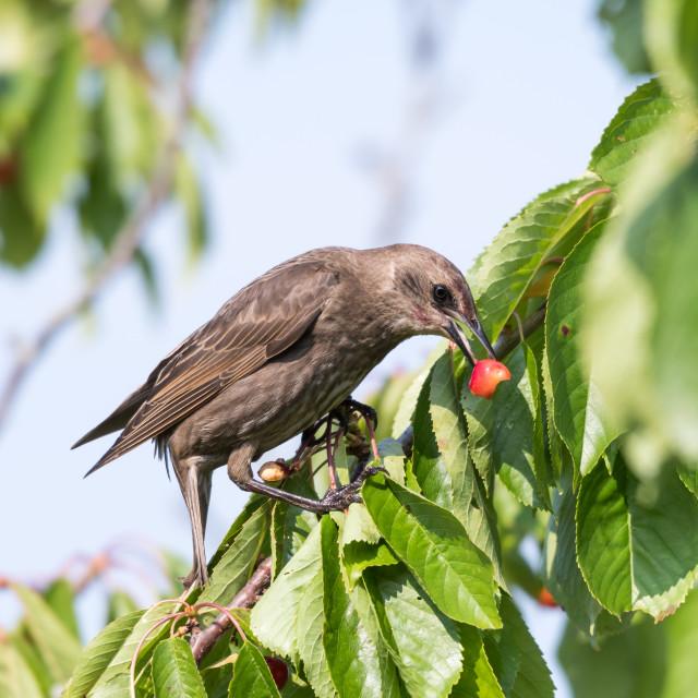 """Starling eats ripe cherries"" stock image"