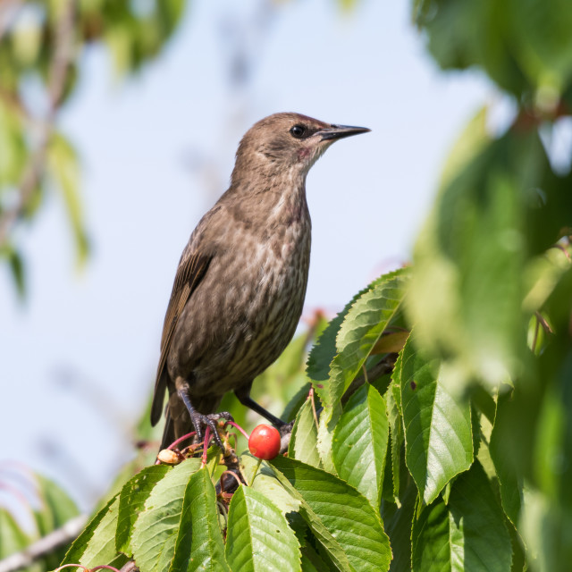 """""""Starling in a cherry tree"""" stock image"""