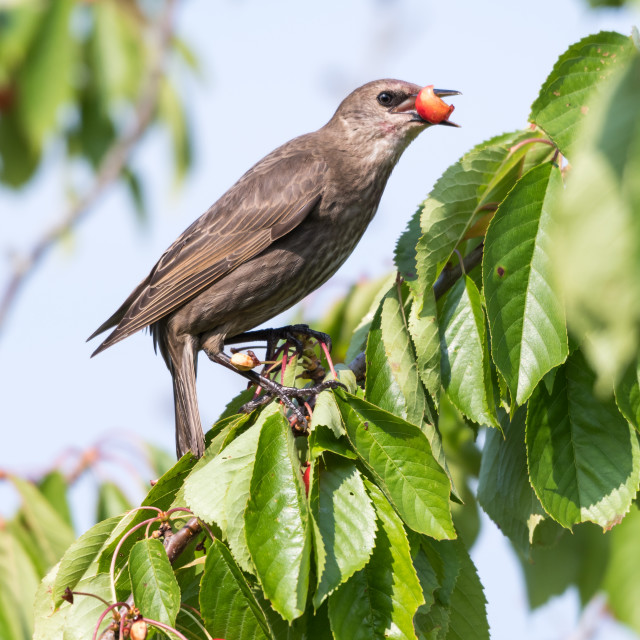 """Starling stealing ripe cherries"" stock image"