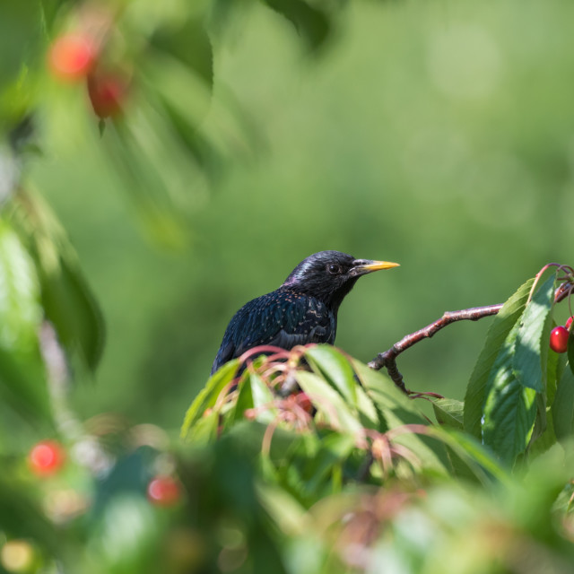 """""""Starling hides in a cherry tree"""" stock image"""