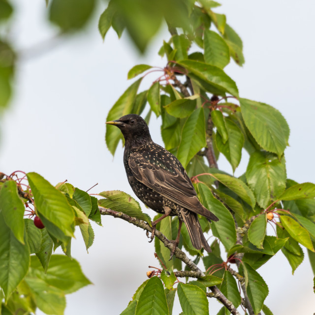 """""""Starling is going to steal cherries"""" stock image"""