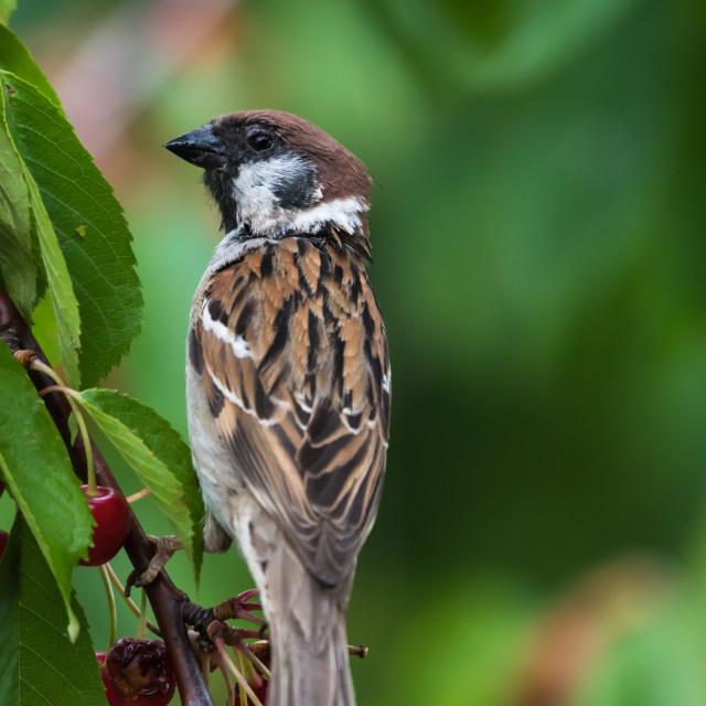 """Tree Sparrow closeup in a cherry tree"" stock image"