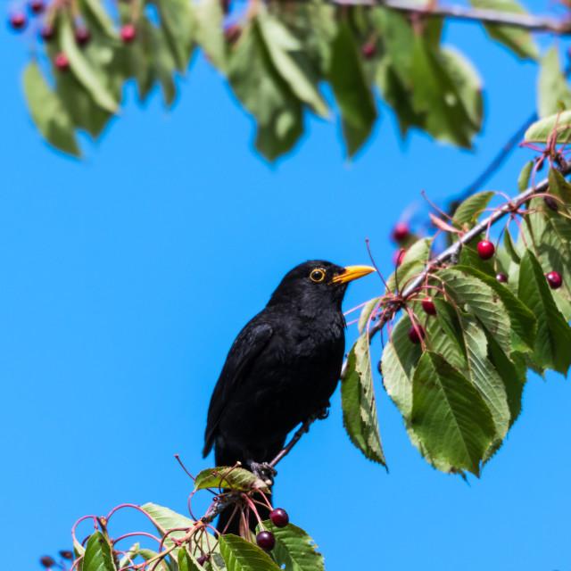 """Blackbird in a cherry tree"" stock image"