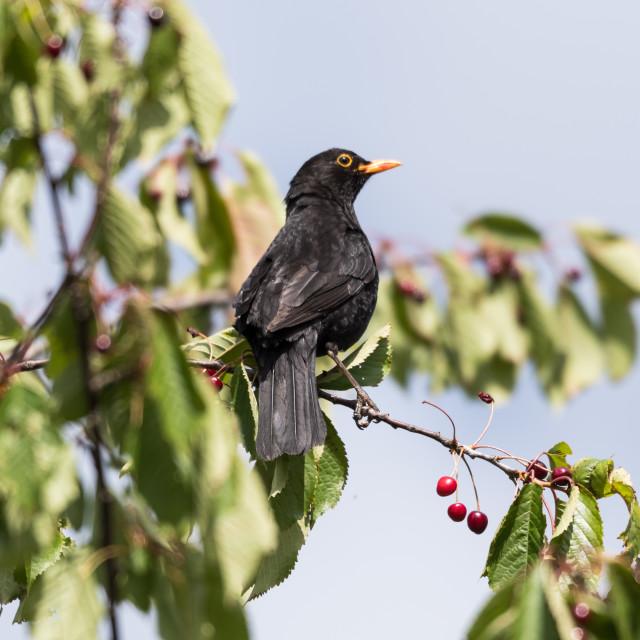 """""""Blackbird picking cherries"""" stock image"""