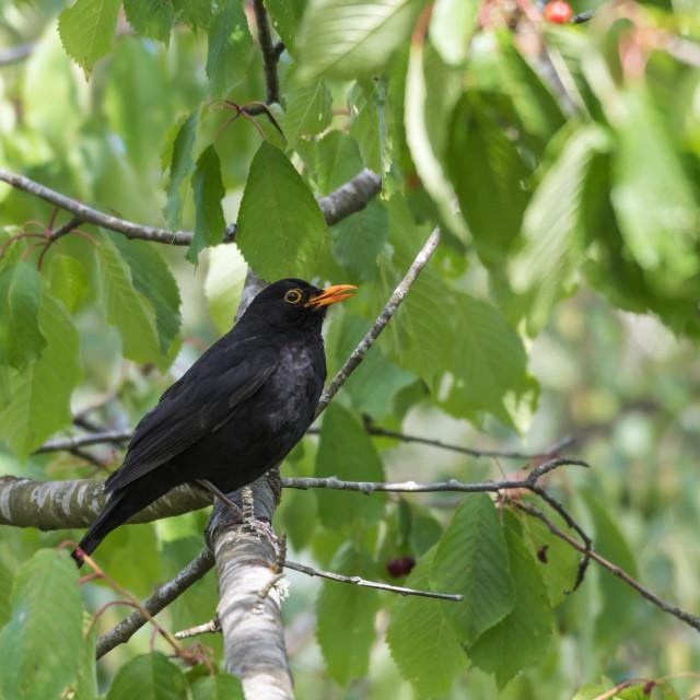 """Blackbird stealing cherries in a tree"" stock image"