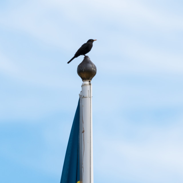 """""""Blackbird on the top of a flag pole"""" stock image"""