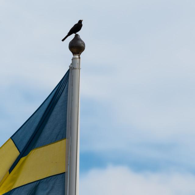 """The swedish national bird, blackbird"" stock image"