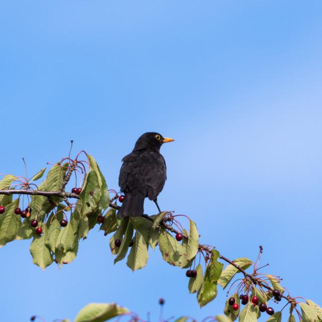 """Blackbird on a cherry branch"" stock image"