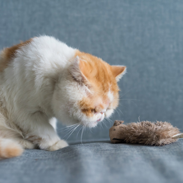 """""""Exotic shorthair cat look at fake mouse"""" stock image"""