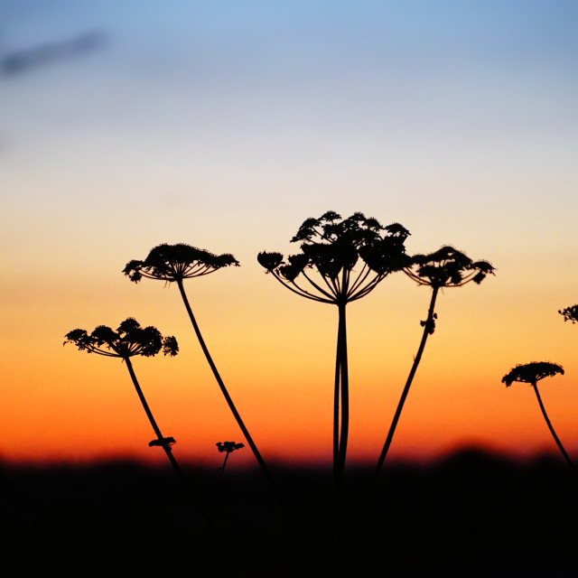 """Silhouette of Wild Flowers as the Sun Rises"" stock image"