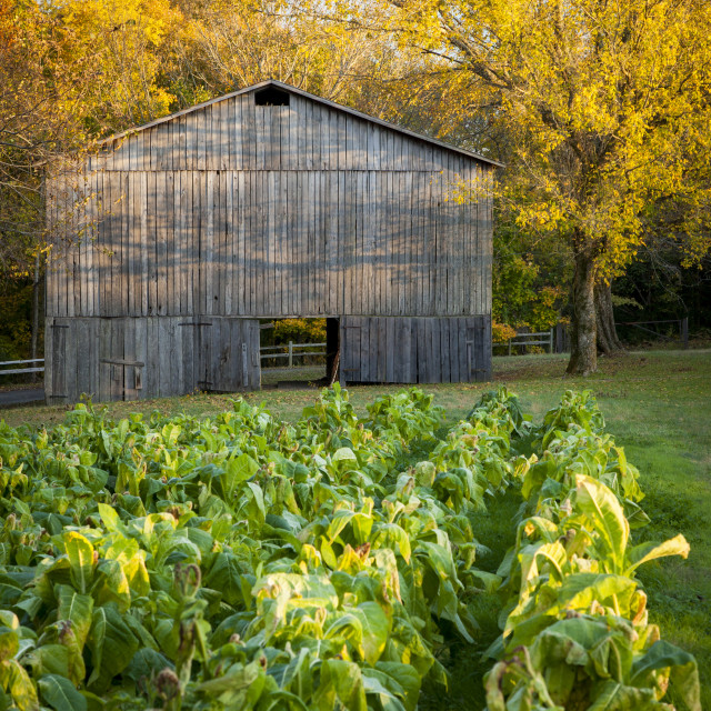 """""""Old Tobacco Farm along the Natchez Trace, Tennessee, USA"""" stock image"""