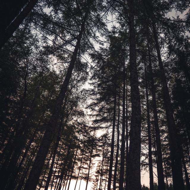 """""""Scottish forest sunset"""" stock image"""