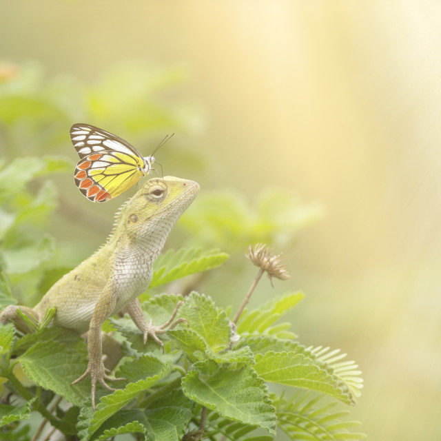 """Butterfly on Oriental garden lizard"" stock image"
