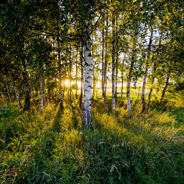 """""""Birches in the light of the setting sun"""" stock image"""