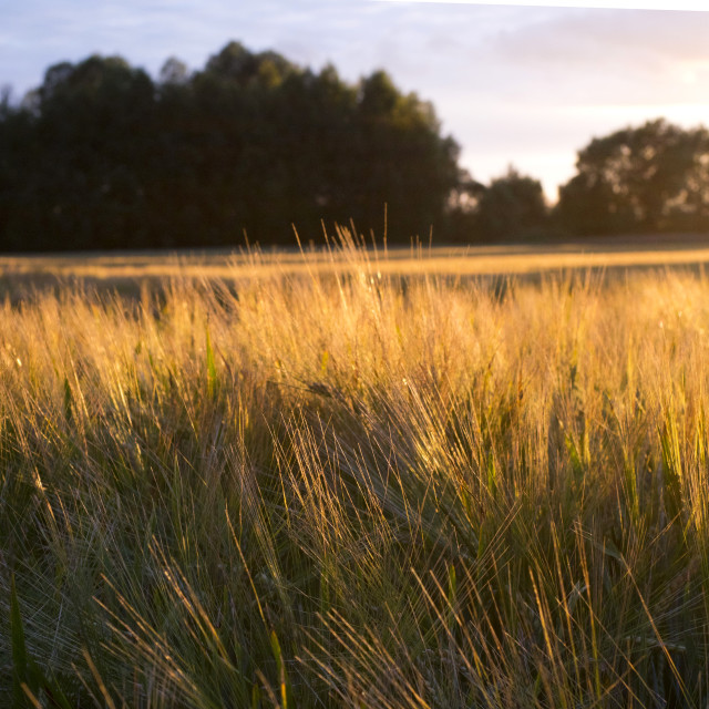 """""""Grains of cereals in the light of the setting sun"""" stock image"""