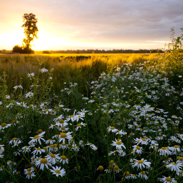 """""""Country roads lined with blooming chamomile in the light of the setting sun"""" stock image"""