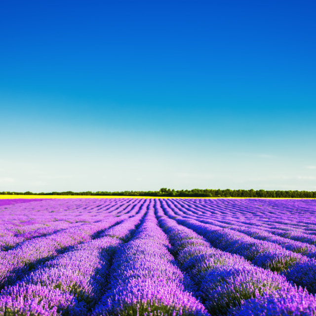 """""""Lavender field in Provence"""" stock image"""