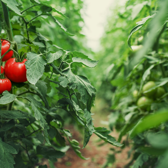 """Tomatoes in a Greenhouse. Horticulture. Vegetables"" stock image"