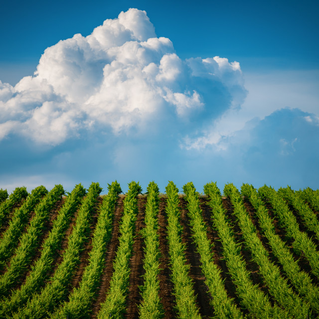 """""""Fields of grapes in the summer"""" stock image"""