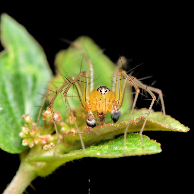"""""""Oxyopes lineatipes lynx spider"""" stock image"""
