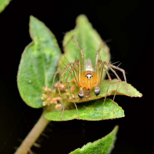 """Oxyopidae lynx spider"" stock image"