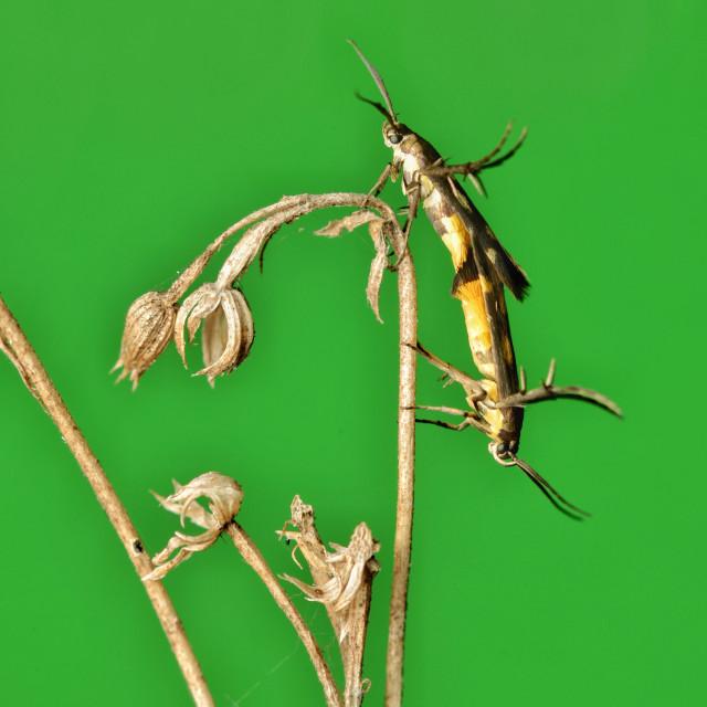 """Scythrididae Flower Moth Mating"" stock image"