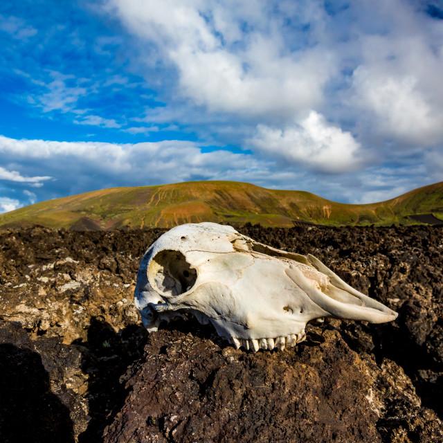 """Lanzarote black volcanic desert and goat skull"" stock image"