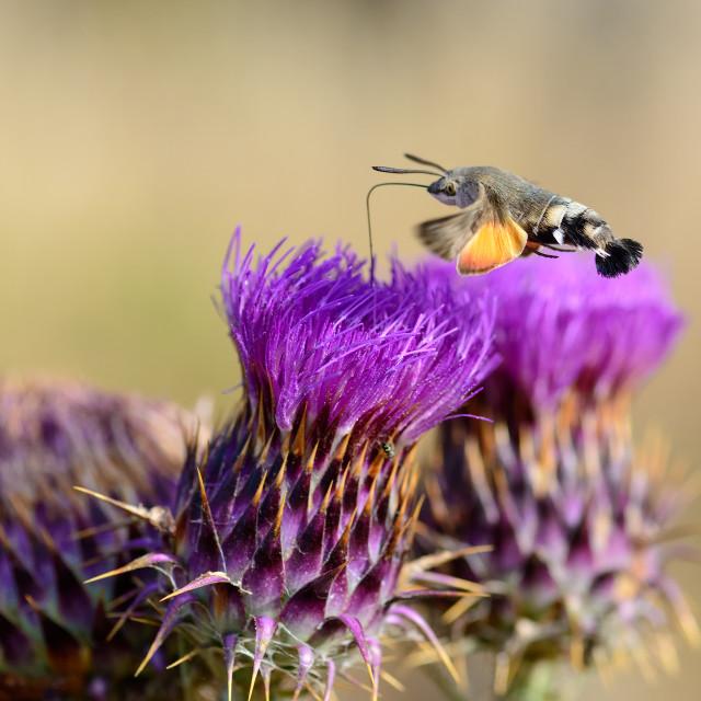 """Hummingbird hawk moth feeding on flower"" stock image"